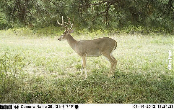 buck on game camera