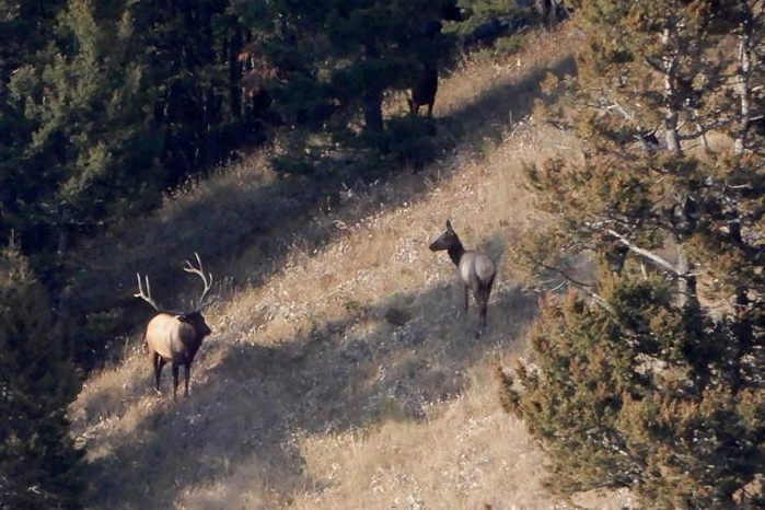 DIY Public Land Elk Hunt Herd Bull