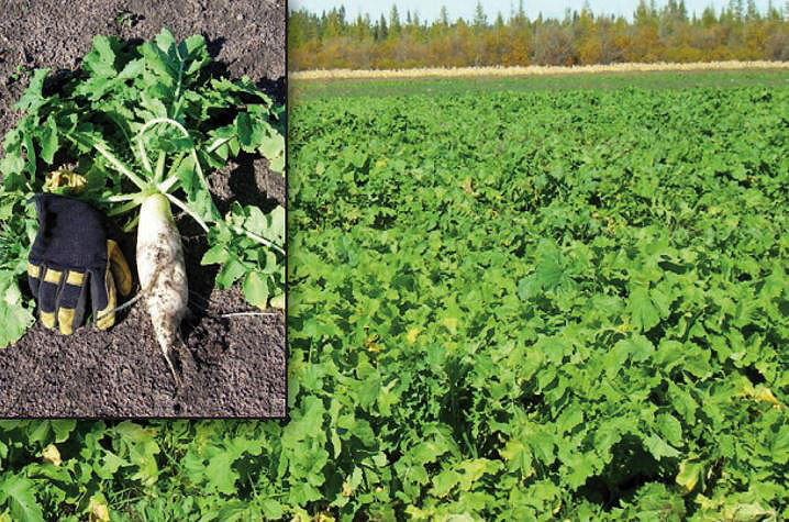 BioLogic Deer Radish field