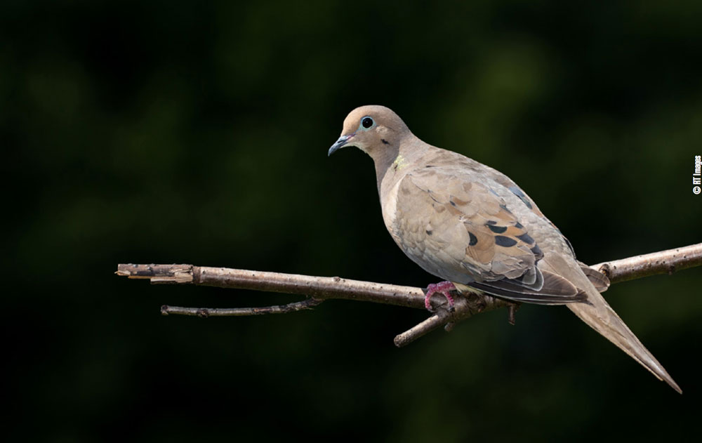 dove sitting on the roost