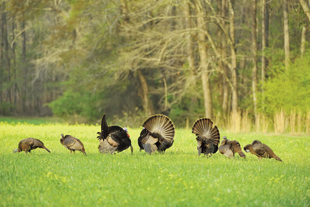 seven turkeys