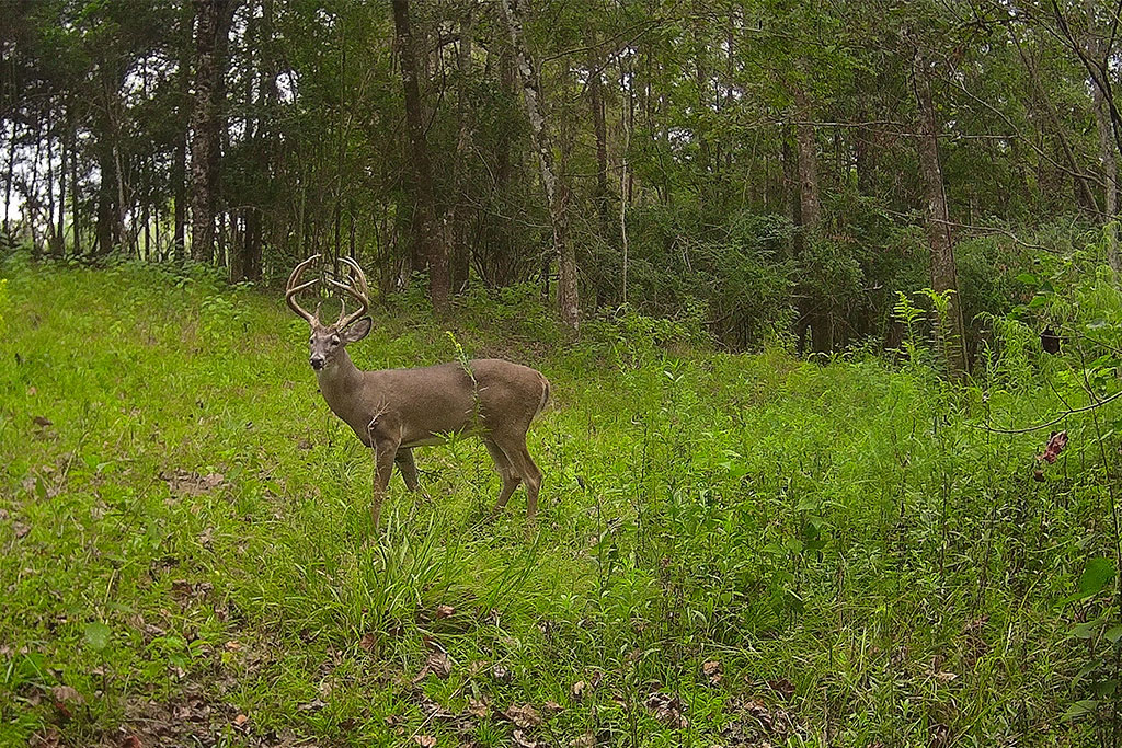 buck on trail camera