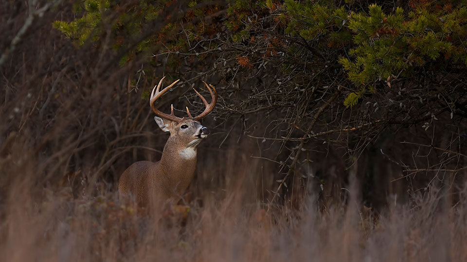 whitetail buck in cover