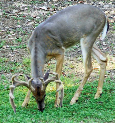 buck grazing