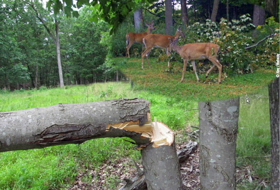 hinge cutting trees for deer