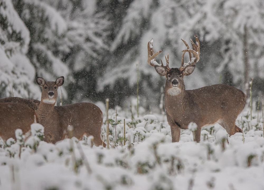 Krueger deer in snow