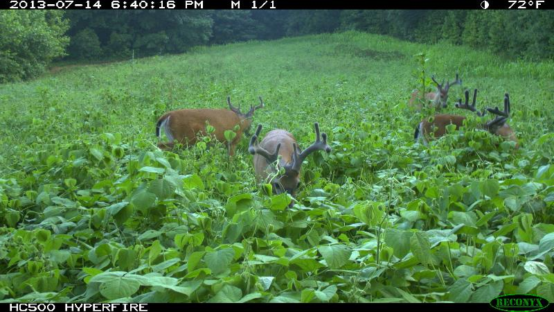 bucks in lablab food plot