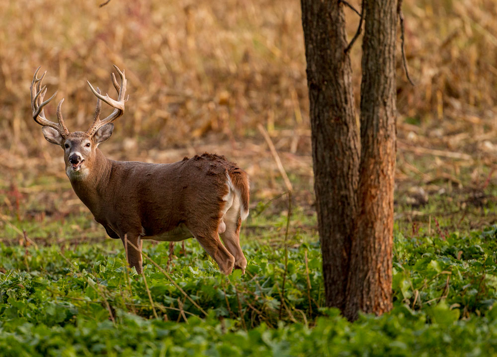 buck in food plot