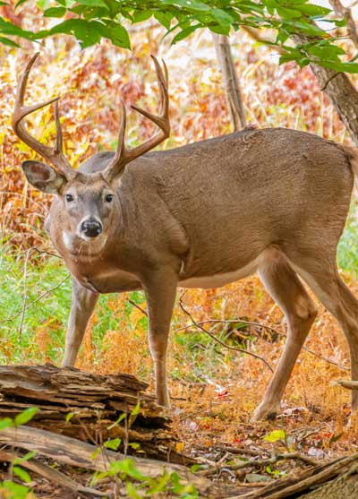 mature 8-point buck