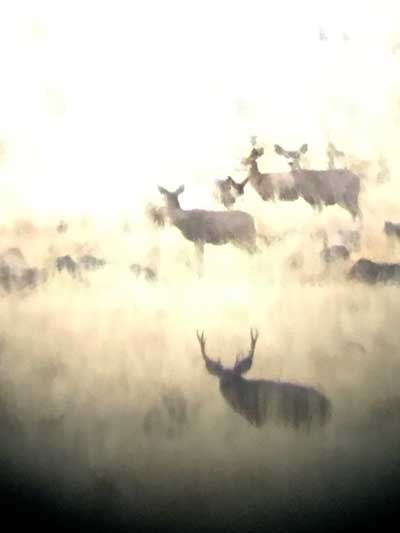 Mule deer herd through scope