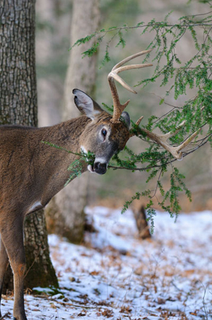 buck eating pine