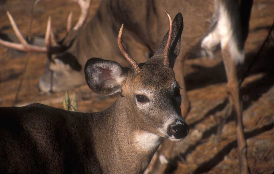 legal spike deer