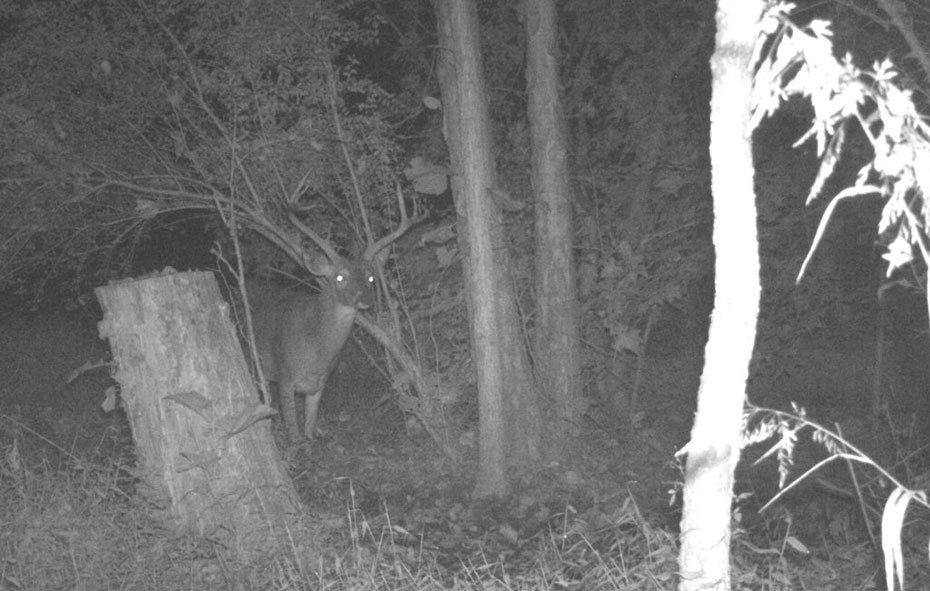 buck deer on game camera