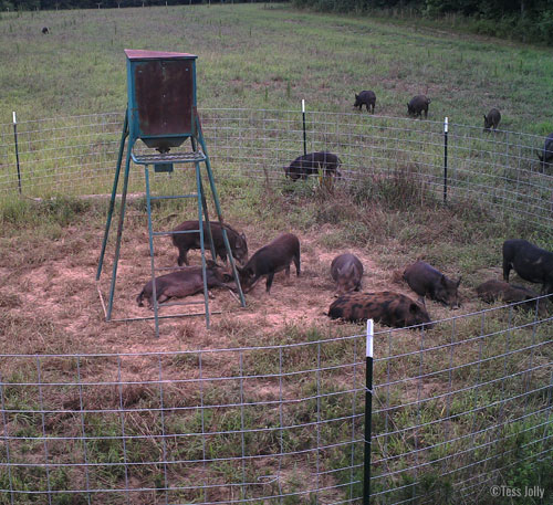 trapped hogs
