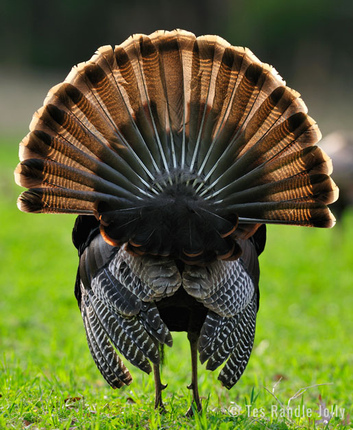 wild turkey strut tail