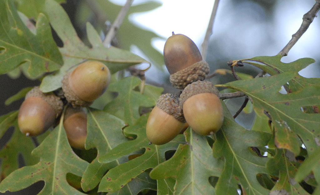 white oak acorns
