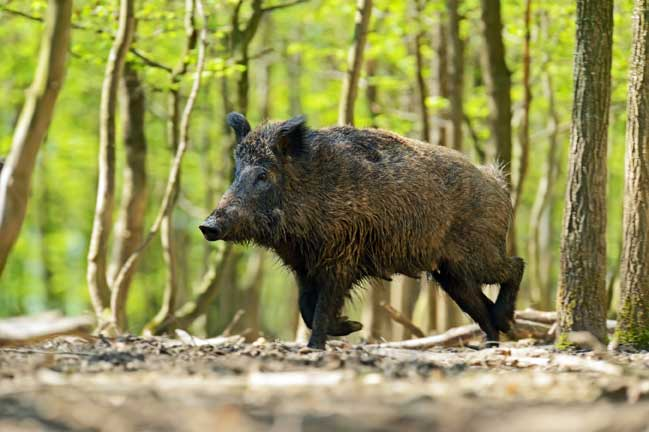 Land Leases, Scent Control and Hog Hunting in Texas | Mossy Oak