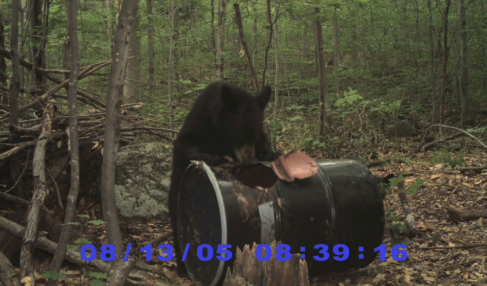 Bear at bait site
