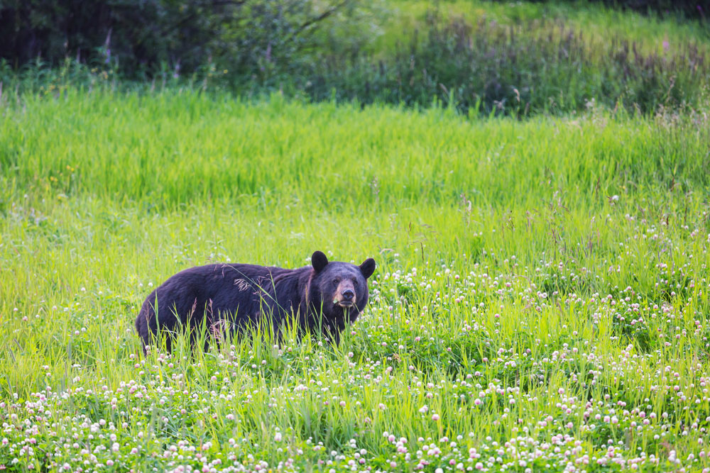 black bear in the field