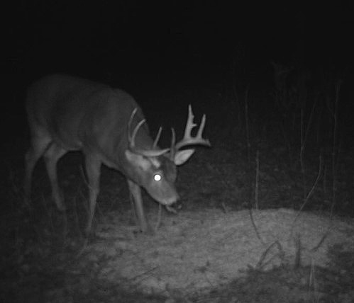 buck at bait site