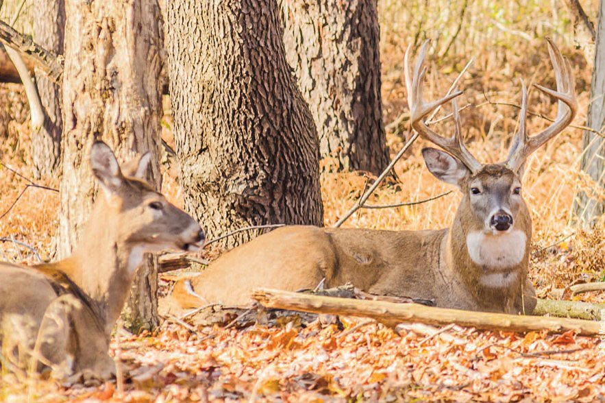 whitetails bedded