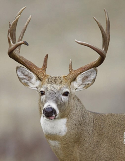 buck with rack