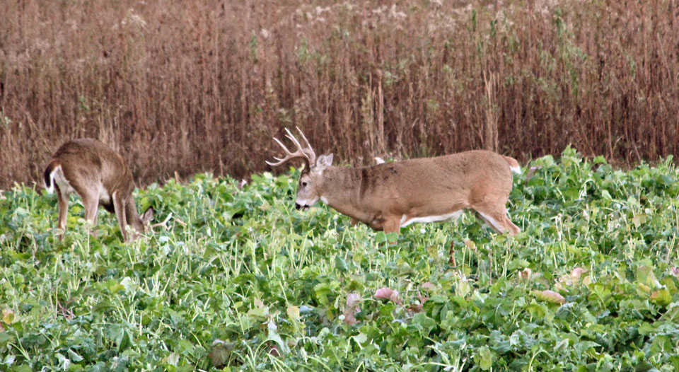 bucks in food plot