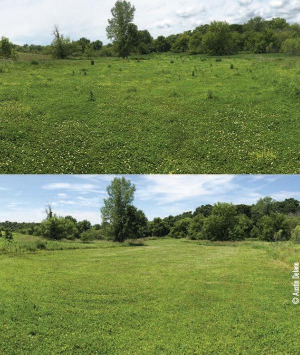 clover field before and after