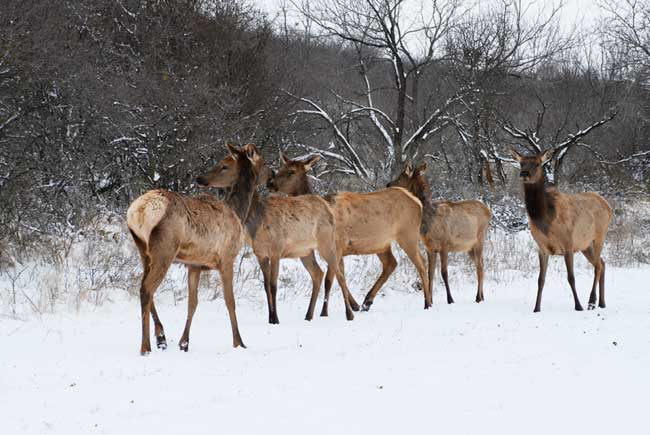 cow elk in the snow