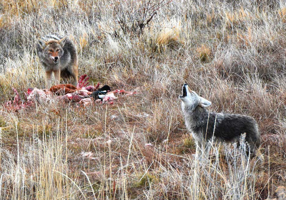 coyotes with carcass