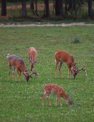 bucks and fawns