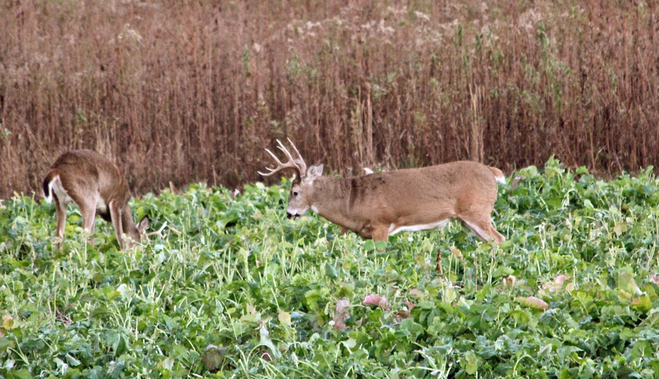 deer in brassica plot