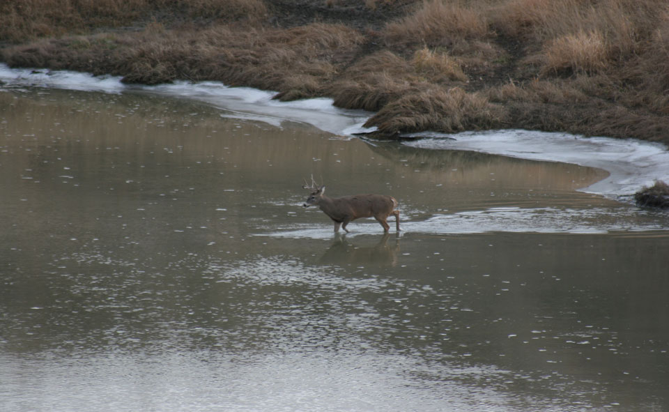 deer crossing water