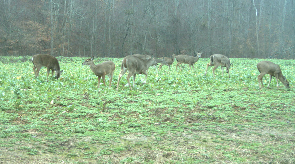 deer eating food plot