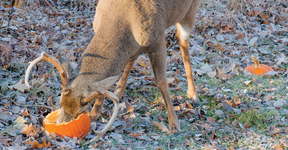 deer eating pumpkin