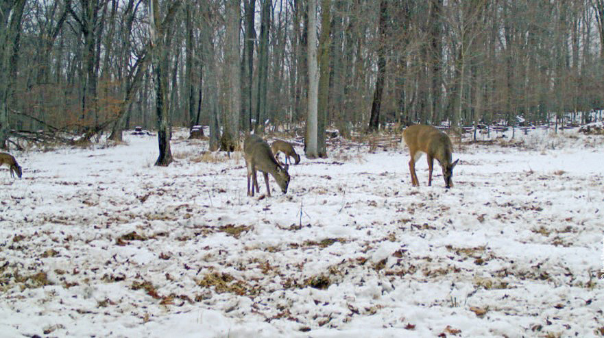deer grazing in winter