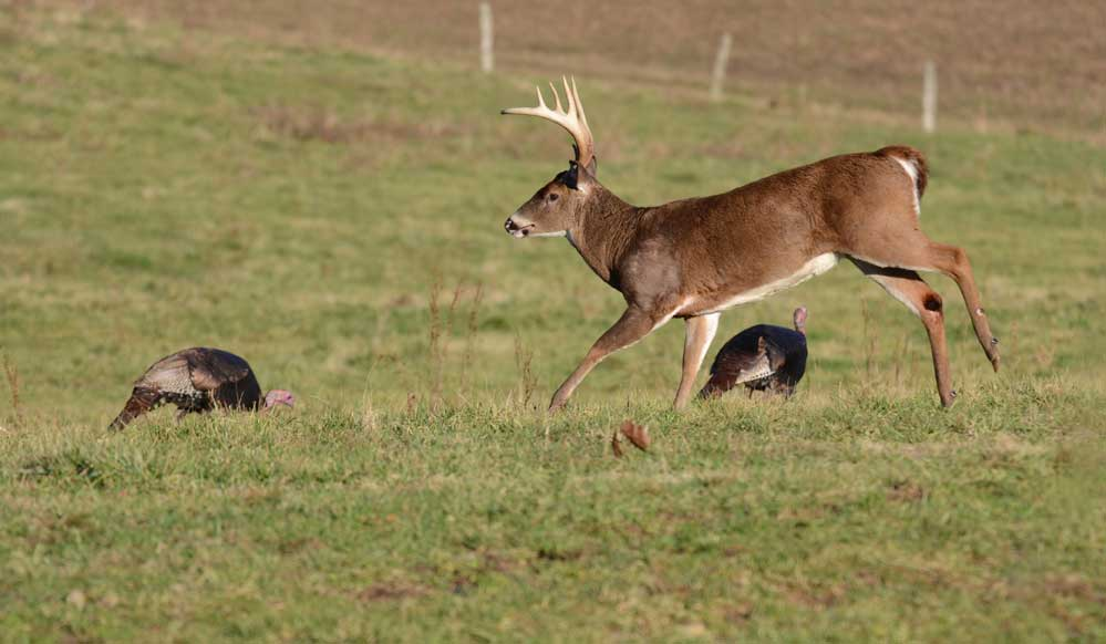 deer and turkeys in clover