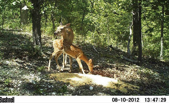 doe and fawn on game camera