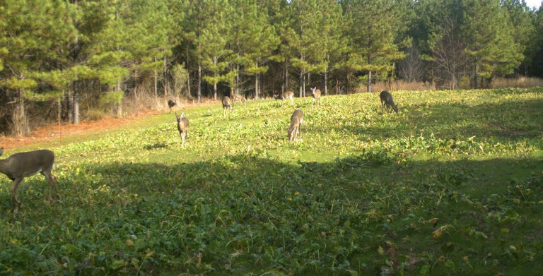 doe in food plot