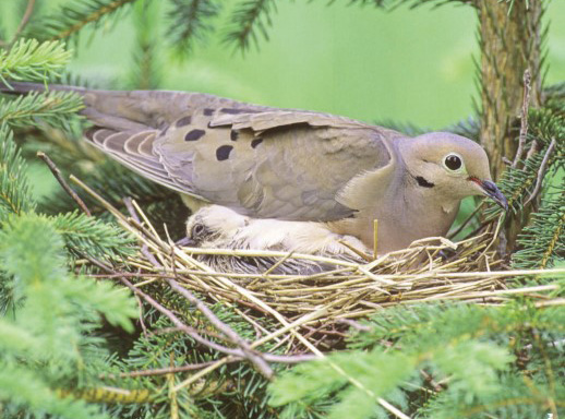 doves in nest