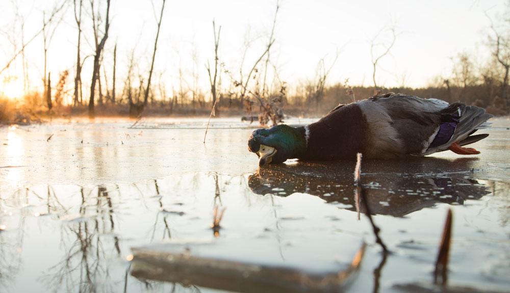 duck on icy pond