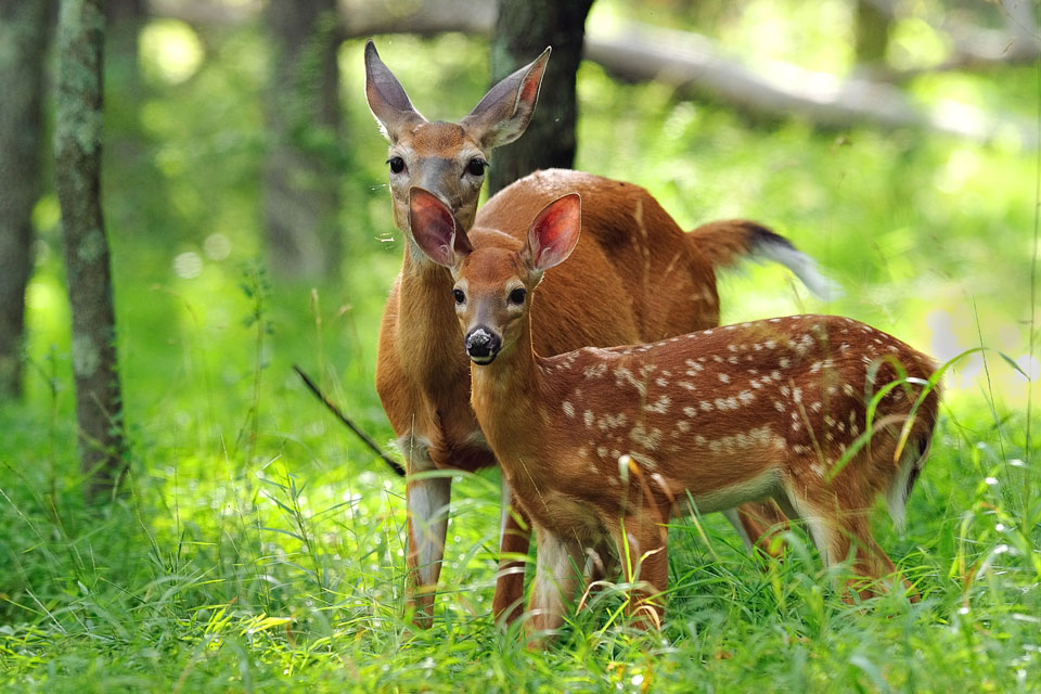 whitetail deer fawn with doe