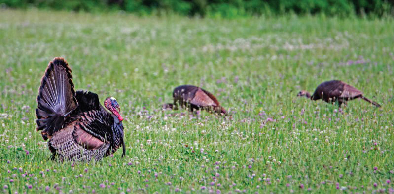 field turkeys