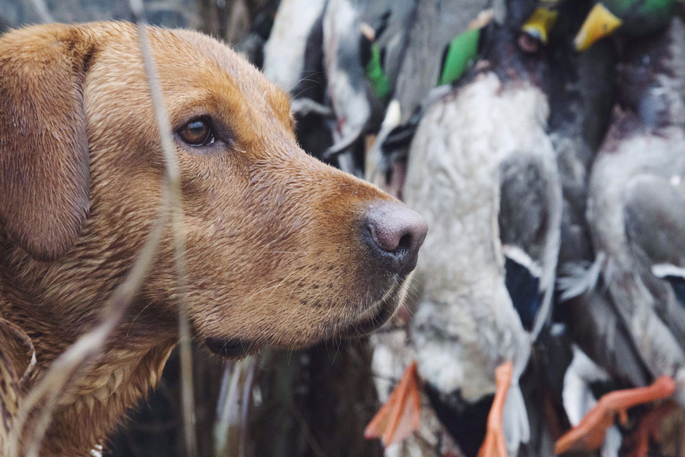 dog in duck blind