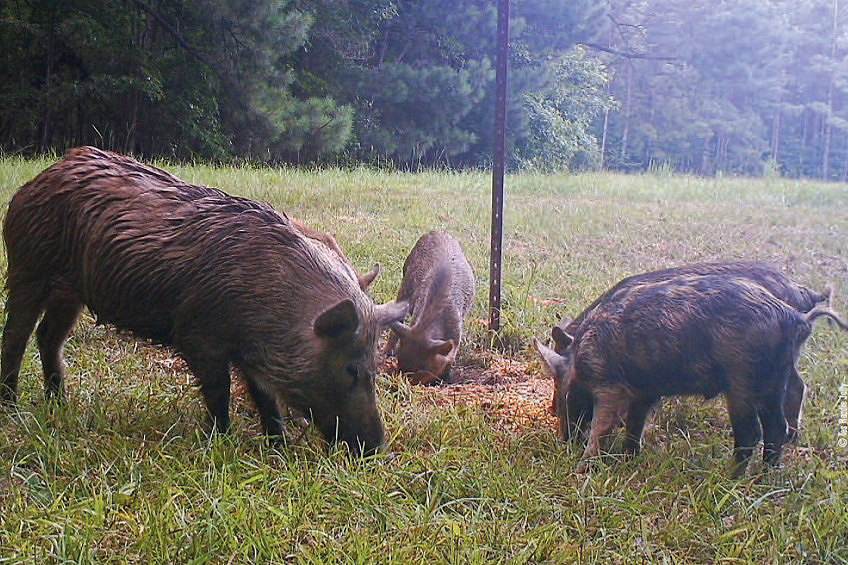 hogs at bait site
