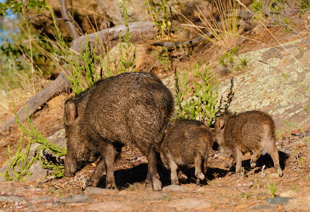javelina mother and babies