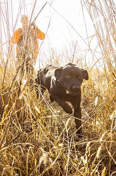 lab bird hunting