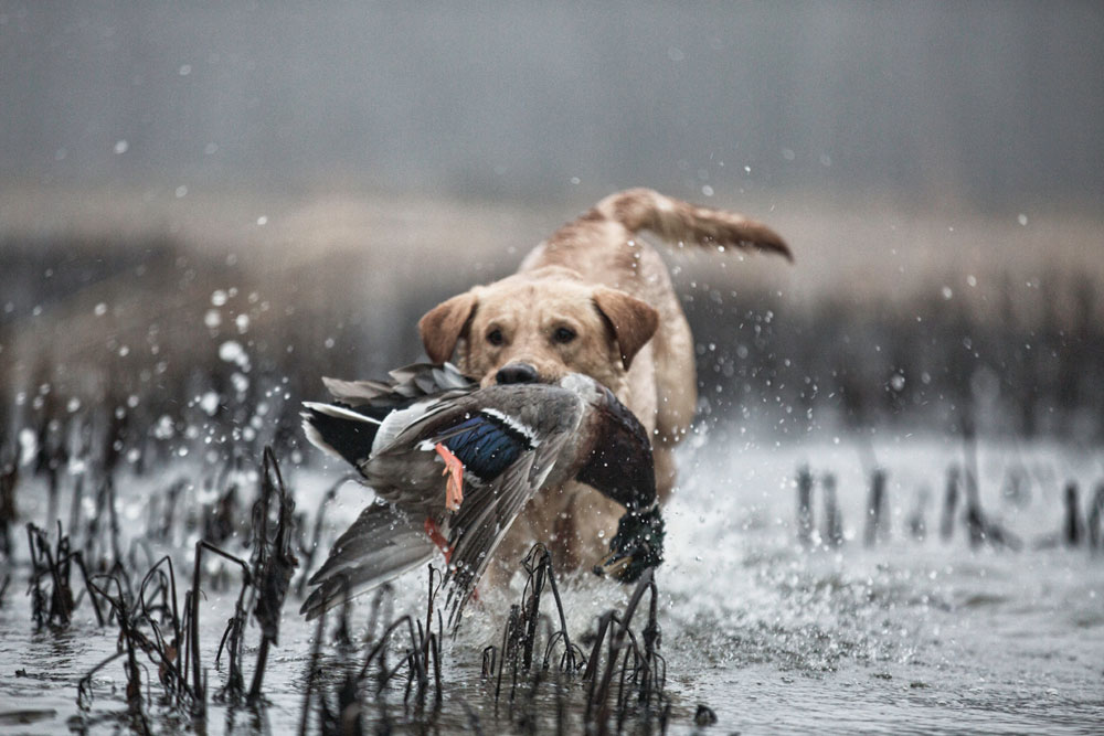 lab with duck