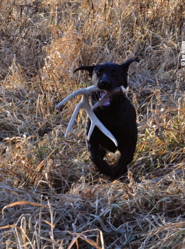 lab with shed antler