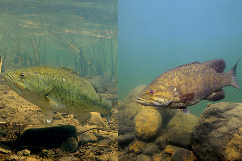 The Differences Between Largemouth and Smallmouth Bass
